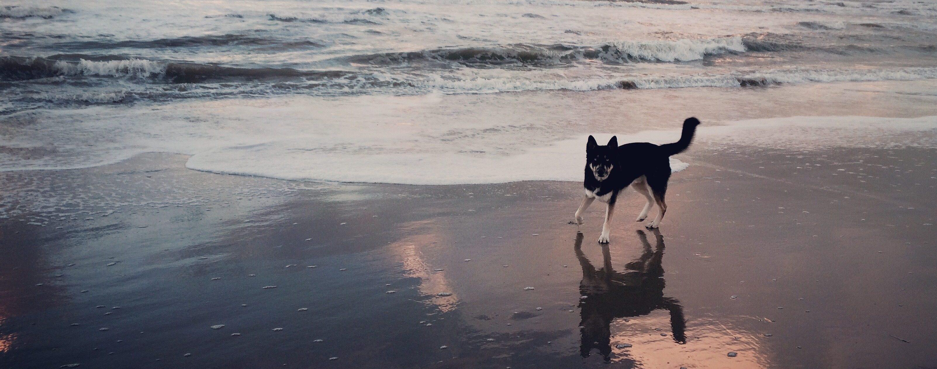 Wolfshond op het strand